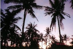 写真:バリ島のパームツリー